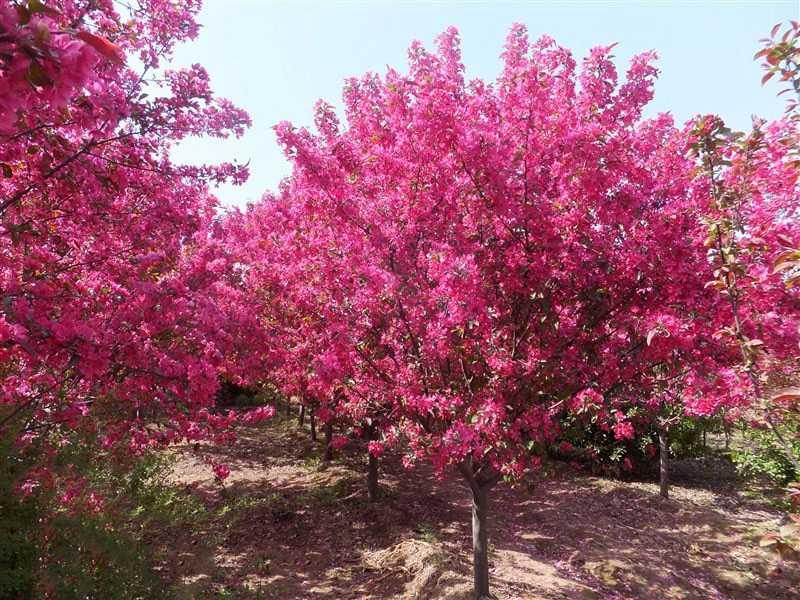 北美海棠值得信赖-供应品种好的海棠苗木