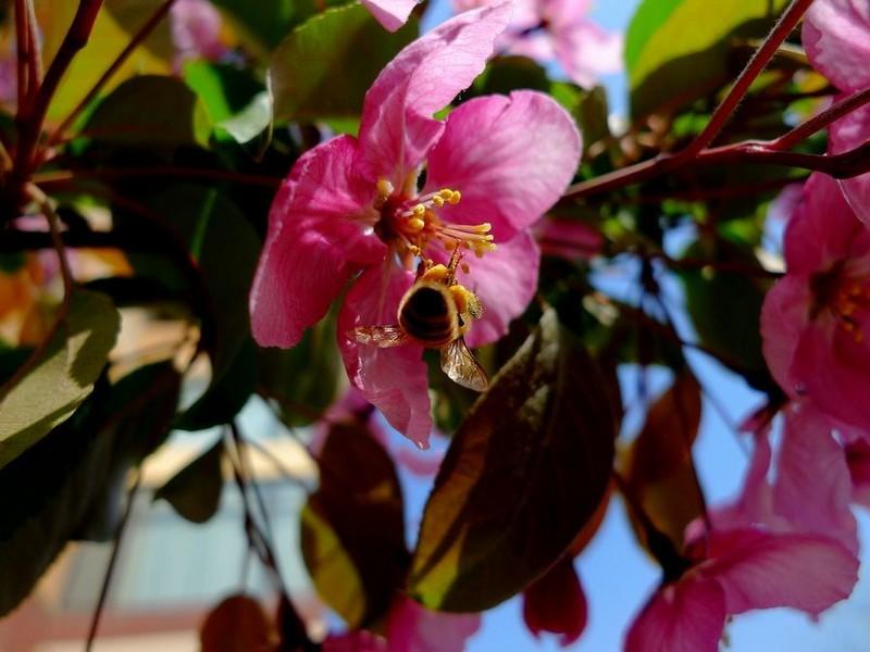海棠苗木专业供应商|北美海棠低价批发