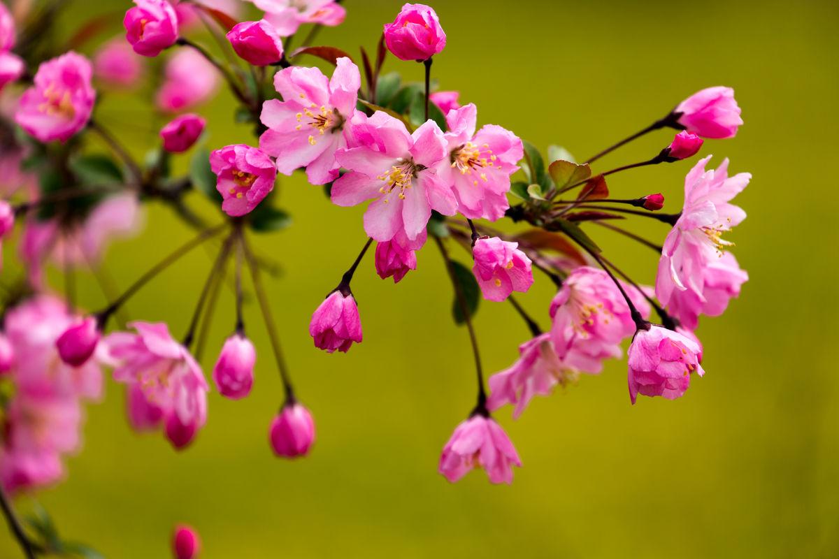 八棱海棠苗木基地-供应品种好的海棠苗木