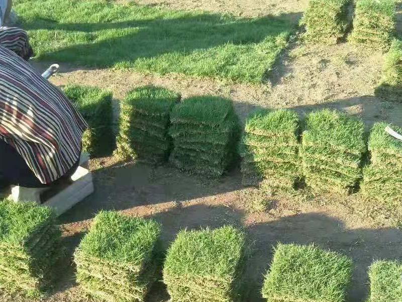 马尼拉草皮找湘南——人工草皮价格
