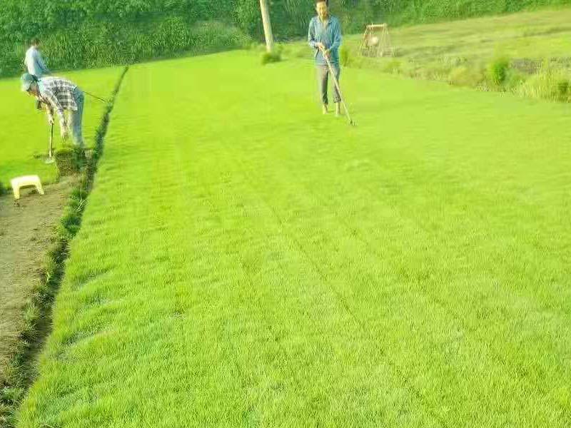 大量出售湖南马尼拉草皮-草坪马尼拉哪里有