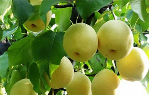 果树苗木制造商-供应山东品种好的果树苗木