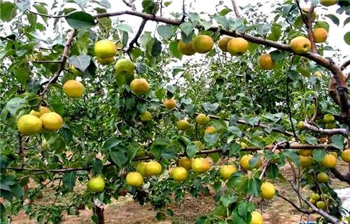 成活率高的果树苗木批发-怎么挑选果树苗木