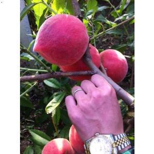 果树苗木厂商出售_供应山东有品质的果树苗木