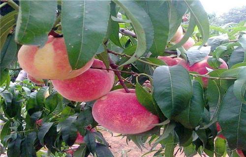 果树苗木专业供应商-厂家批发果树苗木