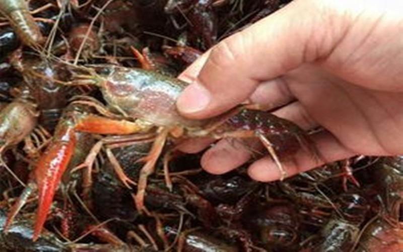 揭阳哪里有优质的龙虾种苗批发 划算的优质的龙虾种苗批发推荐