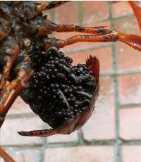 哪里有提供品质高的优质的龙虾种苗批发|湖北哪里有优质的龙虾种苗批发