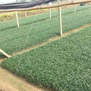 哪里能买到好的玉龙草,玉龙草制造商