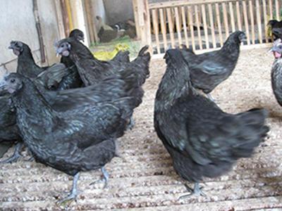 南通乌骨鸡-想买新品乌骨鸡-就到新星农业