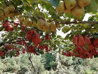 浙江紅心獼猴桃廠家直銷_哪里能買到價格合理的紅心獼猴桃
