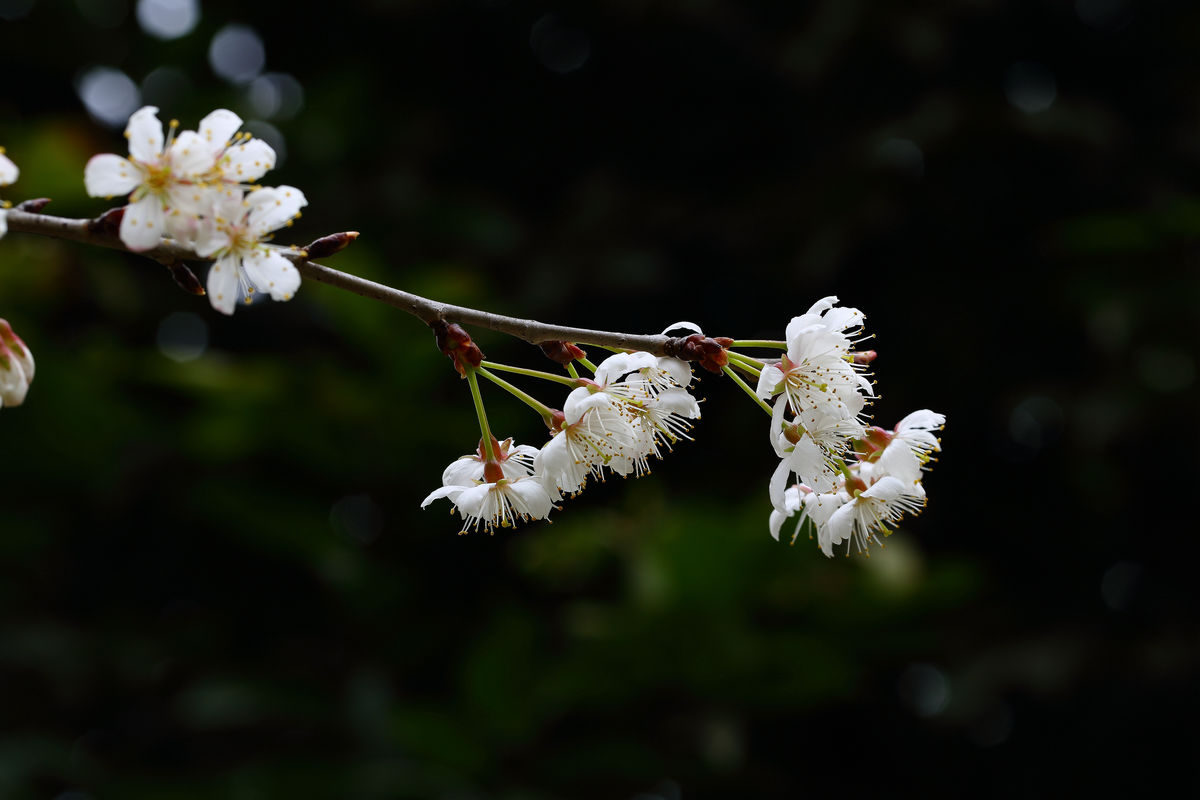 红脆李树苗,供应山东有品质的海棠苗木