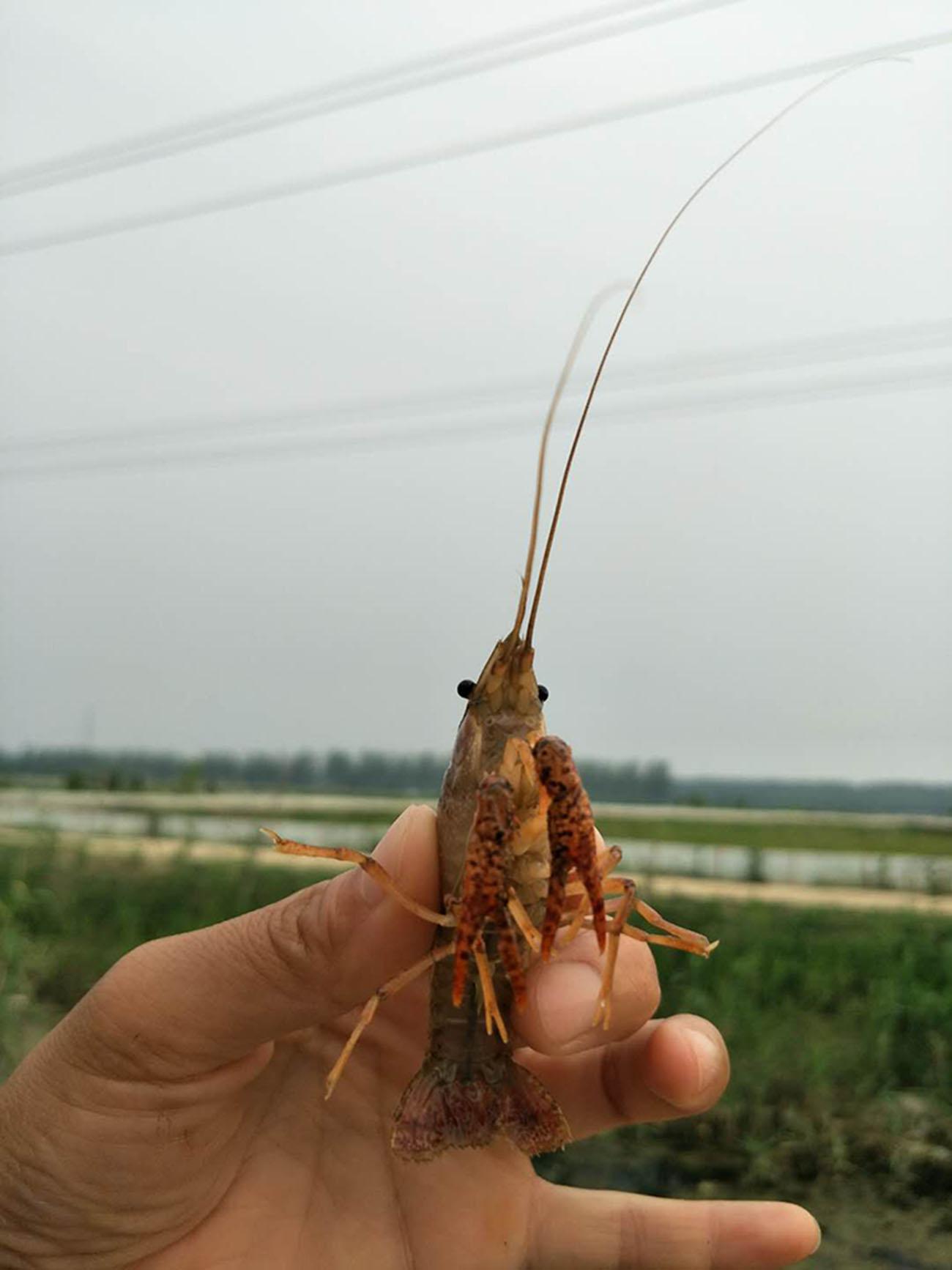 高品质龙虾种苗哪里有供应,台州龙虾苗哪里买