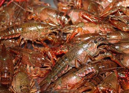 龙虾种苗代理加盟-优良的小龙虾苗种就在千耀农产品