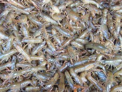 龙虾种苗代理加盟_买小龙虾苗种当然是到千耀农产品