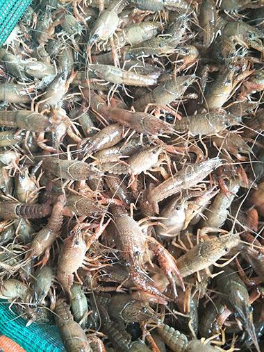 东城龙虾养殖哪里有 宿迁物超所值的小龙虾种苗供应