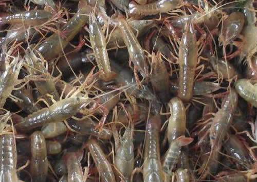 高質量的小龍蝦種苗江蘇沭淮河農業供應-小龍蝦種苗哪里找