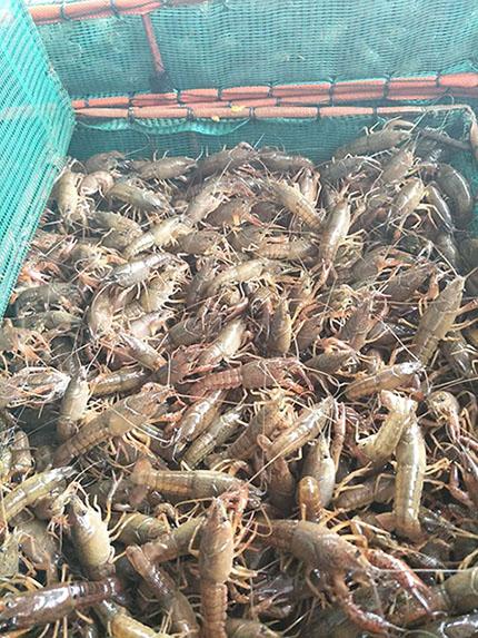 小龙虾苗市场行情-哪里能买到口碑好的龙虾种苗