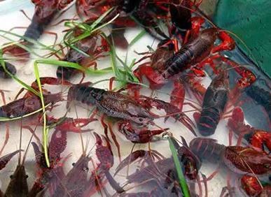高品质小龙虾种苗哪里有供应_批发小龙虾种苗