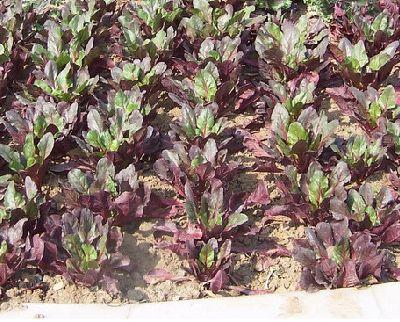 紅葉甜菜批發價格|山東具有口碑的紅葉甜菜價格