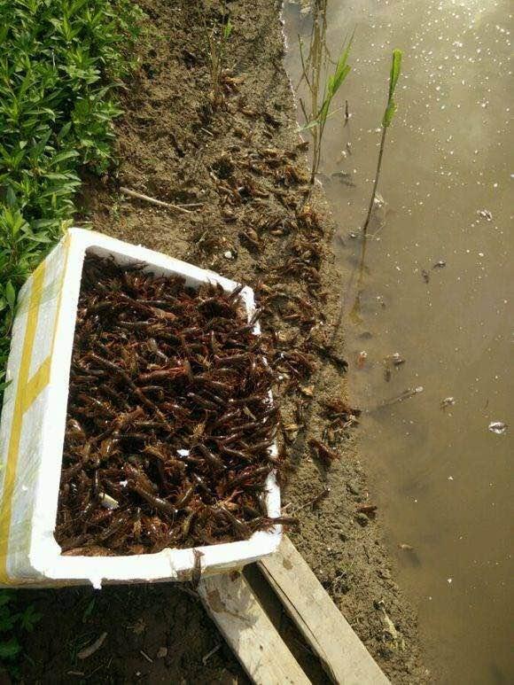 划算的小龙虾养殖基地当选达鑫水产-盐城哪里有龙虾苗卖