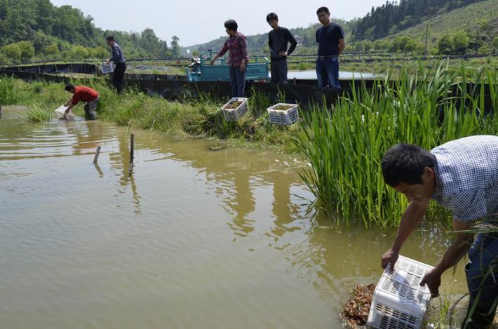 要买龙虾幼苗当选达鑫水产_宝坻小龙虾种苗多少钱一斤
