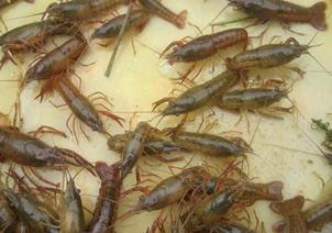 遂寧龍蝦苗批發價格表,信譽好的龍蝦養殖供應商推薦