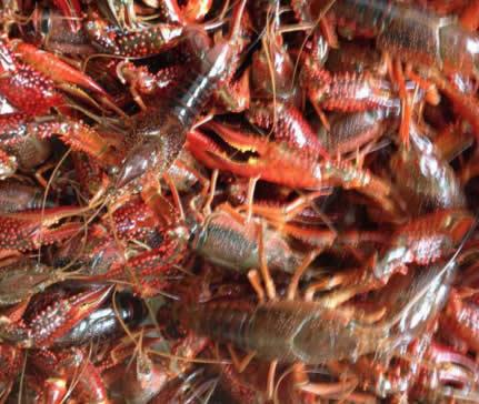 稻田养殖龙虾