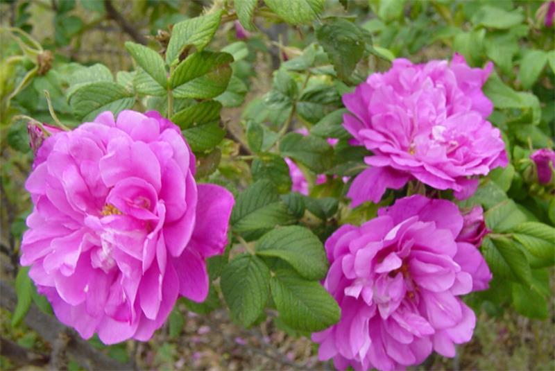 北京四季玫瑰培育基地-想要买四季玫瑰就来玉江花卉苗木
