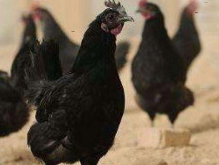 绿壳蛋鸡批发|锦州名声好的绿皮蛋鸡雏供应商推荐