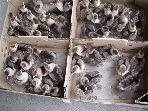 广西孔雀苗批发|优良的南宁孔雀苗提供商当属跃龙禽苗孵化