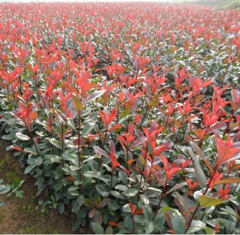 紅葉石楠出售-濰坊優良的紅葉石楠供應