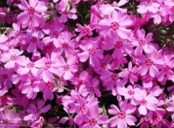 廣東叢生福祿考-優嘉花卉優惠的叢生福祿考供應