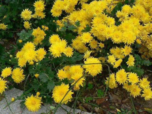 地被菊基地-潍坊价格合理的地被菊供应