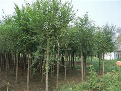 園林綠化樹苗種植-供應青海成活率高的園林綠化苗木