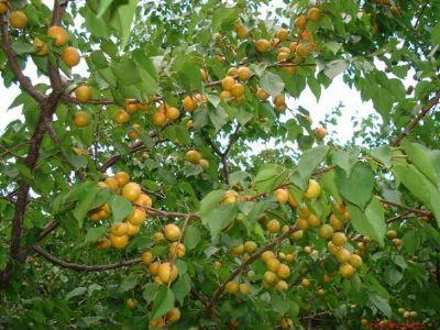 樹上干杏種植