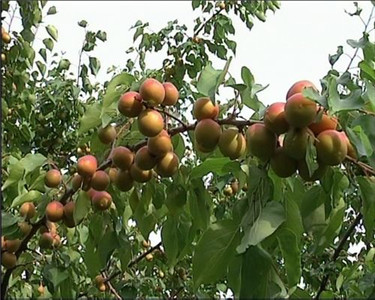 青海哪家樹上干杏供應商好|西寧富硒杏銷售