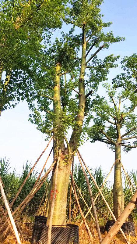 想要易种植的广西木棉树树苗就来鸿图园林公司,供应木棉树采购