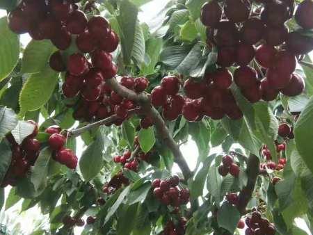 牡丹江樱桃苗_在哪能买到品种好的樱桃苗