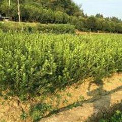 杜鹃苗木低价出售_供应湖南销量佳的杜鹃苗木