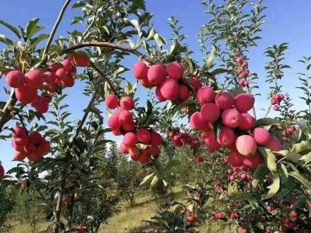 白城苹果苗-供应辽宁口碑好的苹果苗