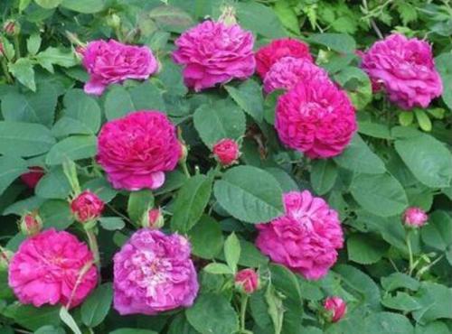 白城玫瑰-供应铁岭新品多季玫瑰