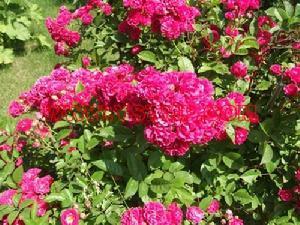 陕西多季玫瑰-想买合格的多季玫瑰,就到开原兴海苗圃种子经销
