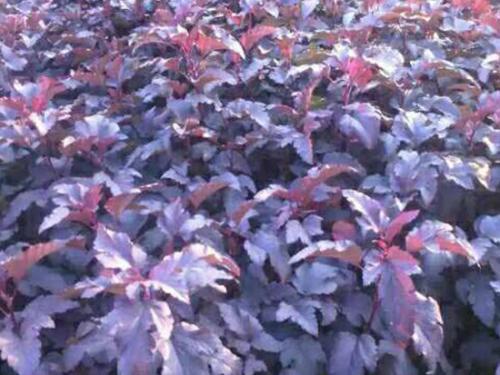 大連紫葉風箱果|成活率高的紫葉風箱果出售