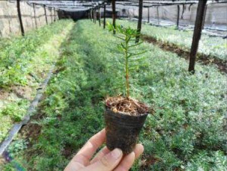 內蒙古紅豆杉|紅豆杉專業供應商