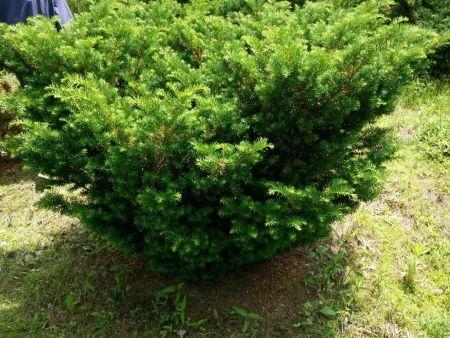 丹东红豆杉_供应品质优良的红豆杉
