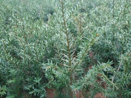 阜新红豆杉苗-成活率高的红豆杉推荐
