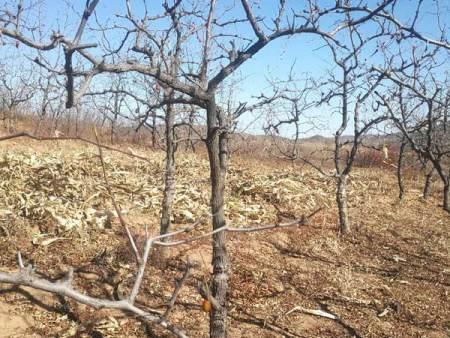 枣树苗厂家-病虫害低的枣树苗出售