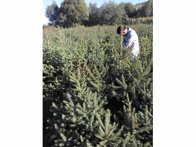 定西云杉基地-优良的西北树苗出售