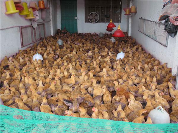 廣西肉雞母童雞價格-口碑好的廣西肉雞母童雞苗躍龍禽苗孵化供應