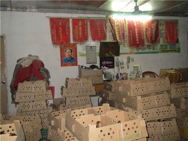 贵州肉鸡母童鸡养殖场-优良广西肉鸡母童鸡苗上哪买